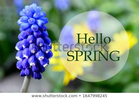 azul · jacinto · flores · crescente · abrir - foto stock © tolokonov