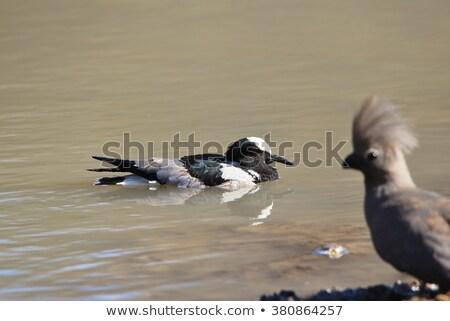 Kovács vad szabad madarak Afrika pár Stock fotó © Livingwild