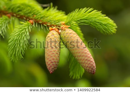 young larch cone larch tree stock photo © hasloo