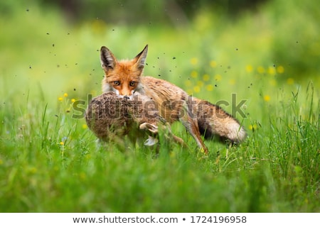 Hare in the pasture Stock photo © Ustofre9