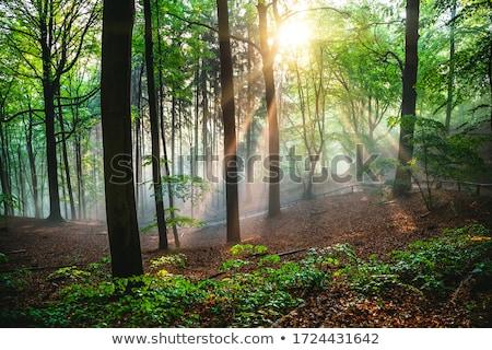 trees in saxon switzerland stock photo © w20er