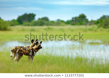 african painted wild dog lycaon pictus stock photo © chris2766