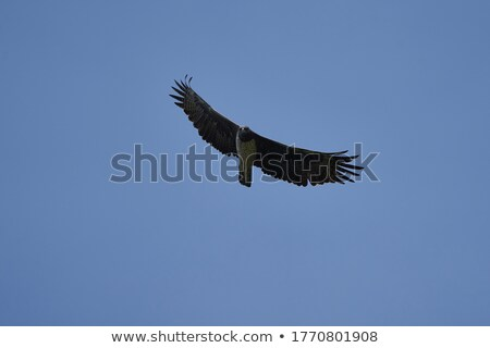 Martial Eagle - Etosha Safari Park in Namibia Stock photo © imagex