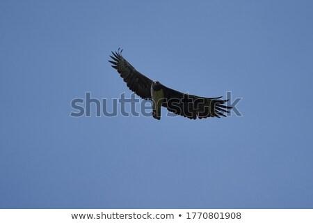 イーグル · 未熟 · 支店 · 南アフリカ · 空 · 鳥 - ストックフォト © imagex