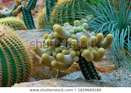Sappig cactus groene woestijn textuur Stockfoto © emattil