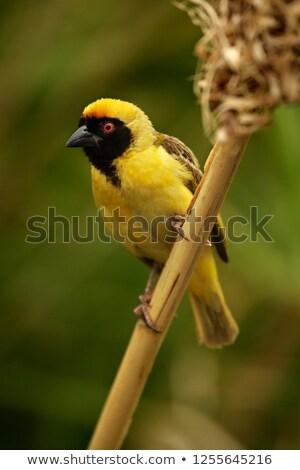 男性 · 村 · 繁殖 · 羽 · 鳥 · 頭 - ストックフォト © dirkr