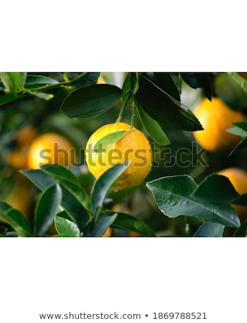 orange fruit among green leaves on wooden table stock photo © dariazu