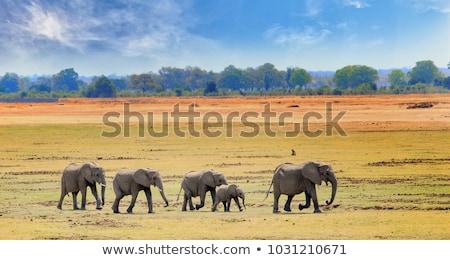 elefánt · család · sétál · szavanna · afrikai · elefánt · baba - stock fotó © master1305