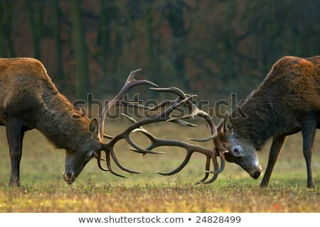 Fight of Red Deer Stags Stock photo © romitasromala
