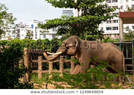 Elephant playing in its enclosure Stock photo © epstock