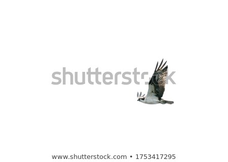 Stock photo: Raptor in flight