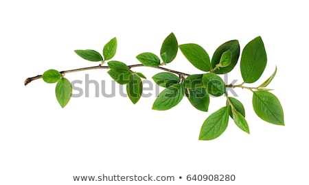 Stock photo: branch with green leaves isolated on white