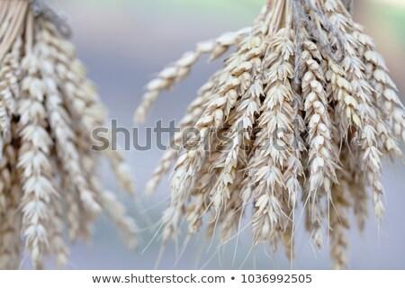 golden barley field selective focus stock photo © stevanovicigor