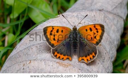 медь сидят дерево трава бабочка крыльями Сток-фото © Rosemarie_Kappler