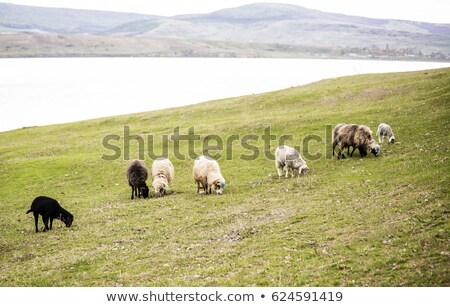 Nyáj legelő friss zöld fű Stock fotó © meinzahn