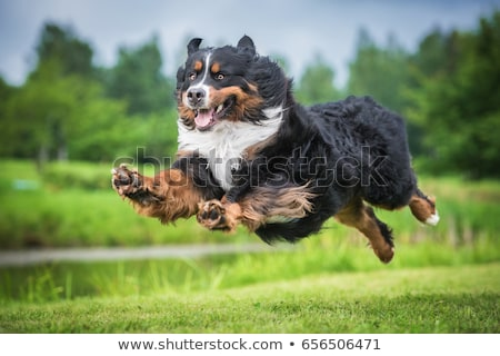 Bernese Mountain Dog running on the nature stock photo © vauvau