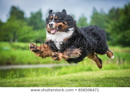 feliz · bernese · mountain · dog · bom · belo · ao · ar · livre · verão - foto stock © vauvau