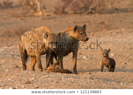 Mother Spotted hyena with two pups. Stock photo © simoneeman