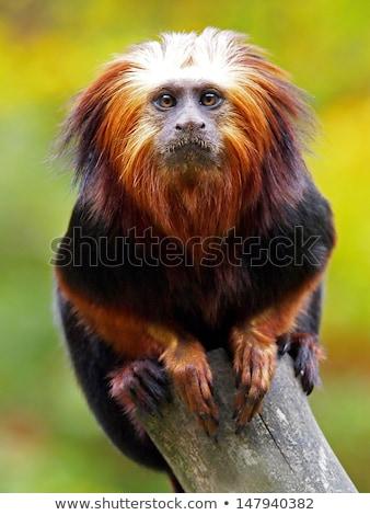 Altın aslan doğa manzara portre maymun Stok fotoğraf © AvHeertum