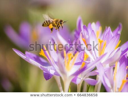 Honeybee pollinating a purple crocus flower Stock photo © manfredxy