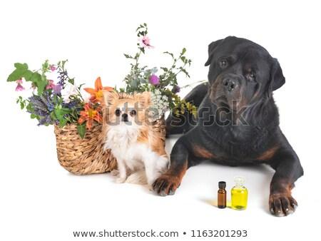 Kutyakölyök rottweiler növény fehér kutya fiatal Stock fotó © cynoclub