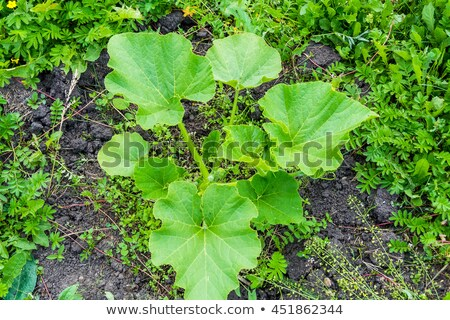 green sprout pumpkin growing in the soil top view stock photo © virgin