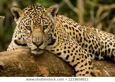 Jaguar Cat Resting Stock photo © THP