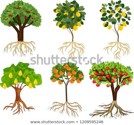 Gyümölcs fák szett rajz képek kert Stock fotó © Genestro