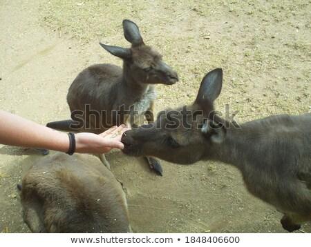 Surprised Little Kangaroo Stock photo © cthoman