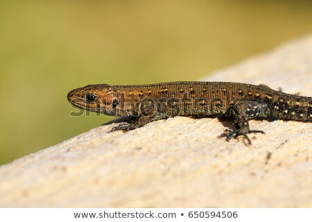 viviparous lizard basking on stump Stock photo © taviphoto