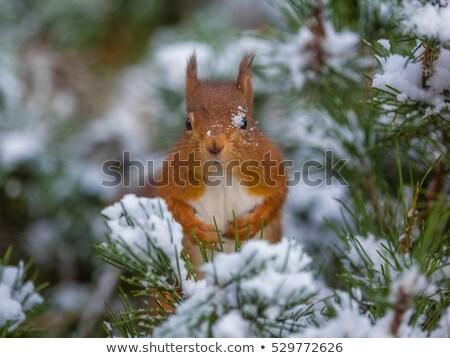 Komik sincap noel ağacı kış tatil tebrik Stok fotoğraf © Lightsource