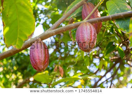 fresh ripe cacao pod on tree at dominican jungle Stock photo © galitskaya