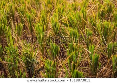 Colheita arroz campo restolho árvore grama Foto stock © galitskaya