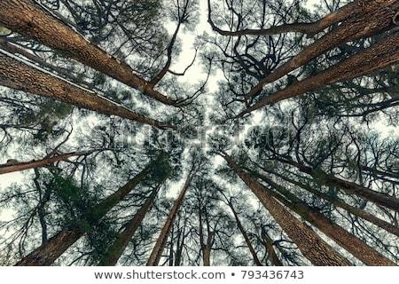 Elképesztő nagy fák cédrus gyönyörű felhős Stock fotó © Anna_Om
