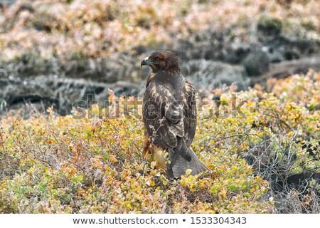 Faucon faune animaux naturelles habitat île Photo stock © Maridav