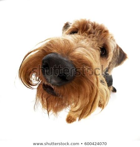 Wide angle shot of an adorable Airedale terrier Stock photo © vauvau