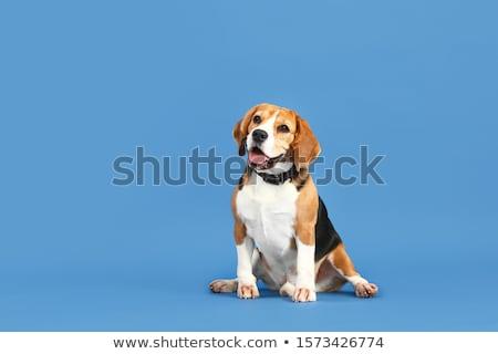 Portret godny podziwu beagle odizolowany czarny oka Zdjęcia stock © vauvau