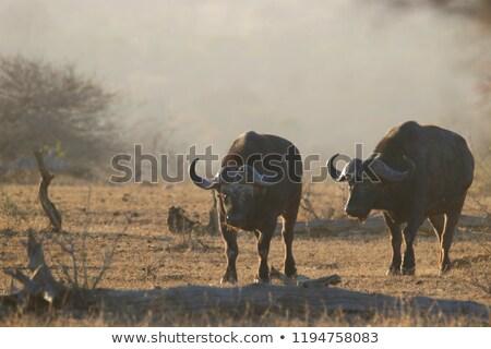 Two Buffalos Stock photo © bobkeenan