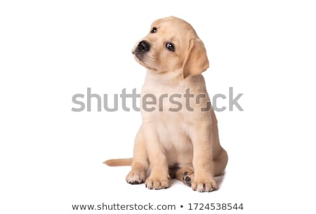 cute yellow lab puppy stock photo © arenacreative