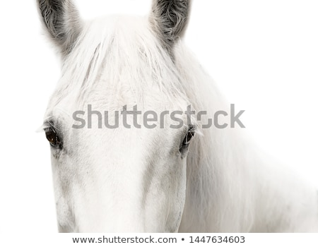 Portrait of white horse Stock photo © Musat