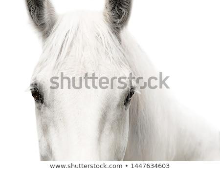 Portrait of white horse stock photo © Musat