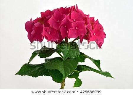 Kırmızı çiçek doğa bitki pembe Stok fotoğraf © Musat
