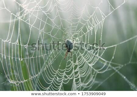 Eiken spin spinneweb natuur haren Stockfoto © Musat