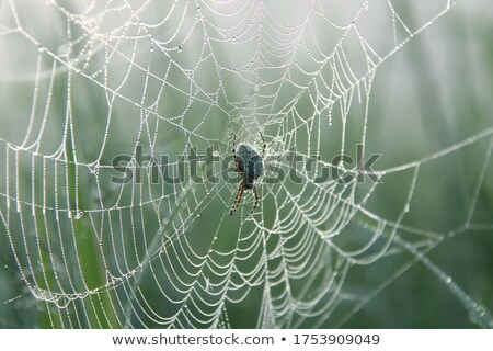 Oak spider on its cobweb stock photo © Musat