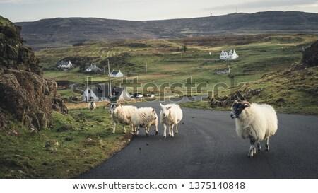 Schapen gras schotse hooglanden selectieve aandacht dier Schotland Stockfoto © gewoldi