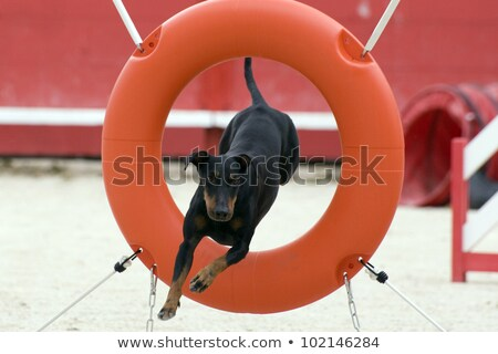 Manchester Terrier in agility Stock photo © cynoclub