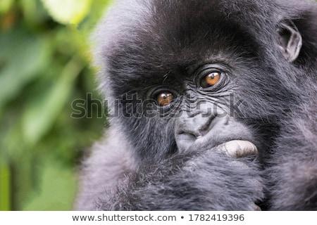Gorilla erdő hegy művészi vadvilág illusztráció Stock fotó © ajlber