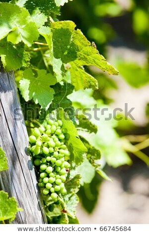 unripe grapevine, vineyards of Cote Rotie, Rhone-Alpes, France Stock photo © phbcz