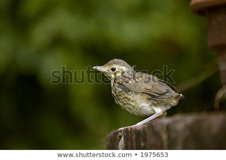dal · rigó · fa · természet - stock fotó © rtimages