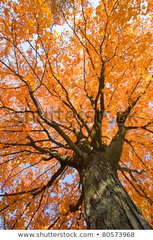 beautiful autumnal maple tree close up stock photo © julietphotography